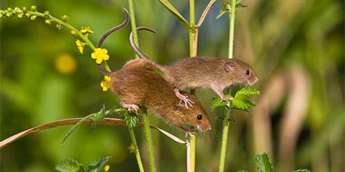 к чему снятся маленькие мыши