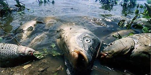 сонник мертвая рыба