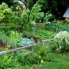 сонник огород