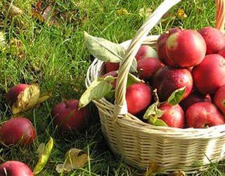 Собирать яблоки