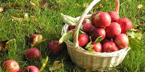 сонник собирать яблоки