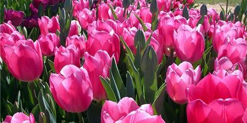 к чему снятся тюльпаны