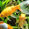 сонник аквариумные рыбки