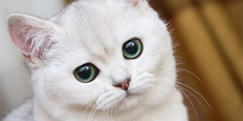 сонник белый кот
