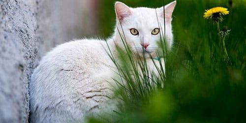 К чему снится белый кот?