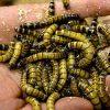 сонник червяки