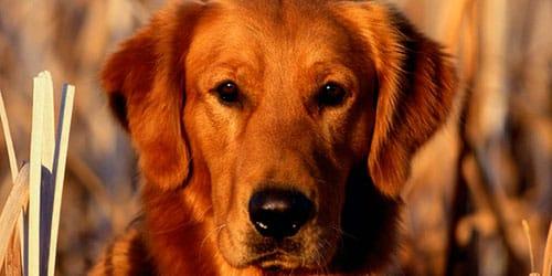 сонник рыжая собака