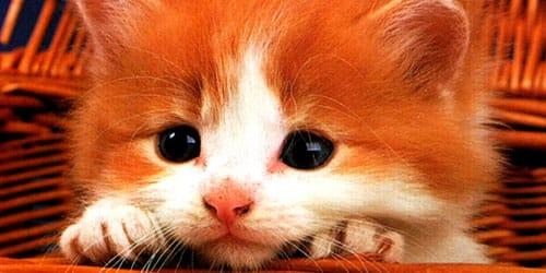 к чему снится рыжий котенок