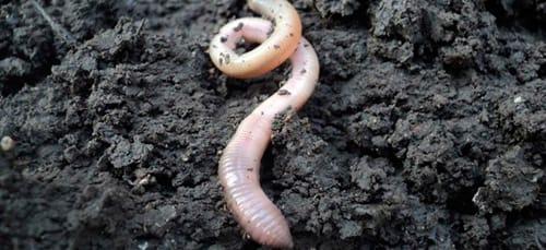копать червей во сне