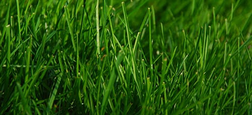 сонник трава