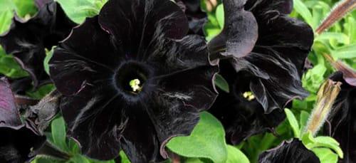 к чему снится черный цветок