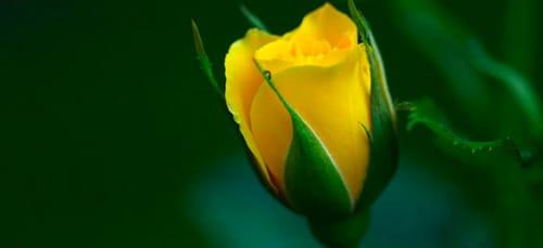 цветок распускается