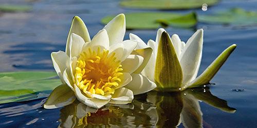 приснились цветы в воде