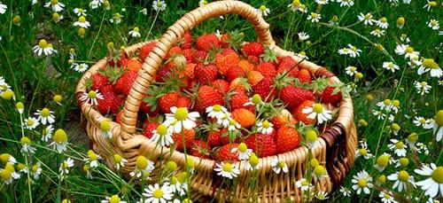 к чему снятся ягоды на поле