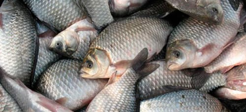 сонник много рыбы
