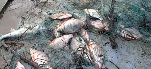 много рыбы в сетях