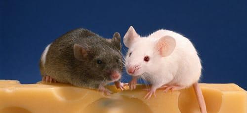 сонник мышка
