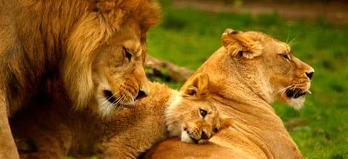 семья львов во сне
