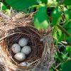 сонник гнездо