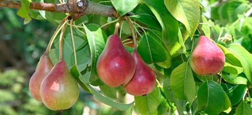 К чему снятся груши на дереве женщине