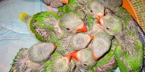 птенцы попугая во сне