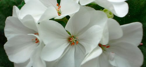 белый цветок в горшке во сне