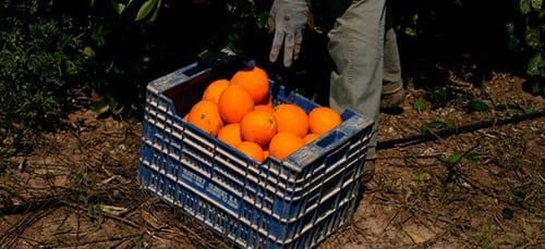 к чему снится собирать апельсины