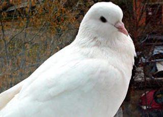 К чему снится белый голубь?