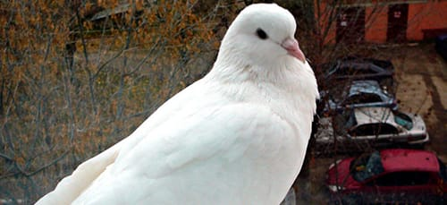 к чему снится белый голубь