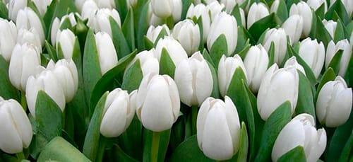 сонник белые цветы