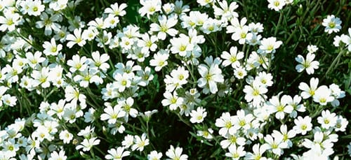 белые цветы на лугу во сне