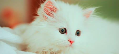 сонник белый котенок