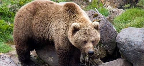 сонник бурый медведь