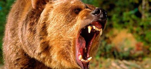 бурый медведь нападает во сне