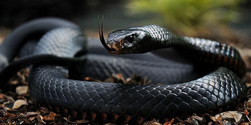 Видеть во сне черную змею