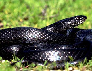 К чему снится черная змея?