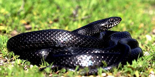 приснилась черная ядовитая змея