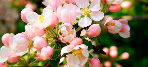 сонник цветущая яблоня