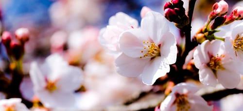 Сонник цветущая яблоня к чему снится цветущая яблоня во сне