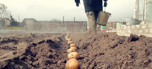 к чему снится сажать картофель