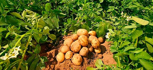 картофель во сне