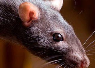 Крыса нападает