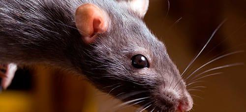 сонник крыса нападает
