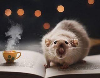 Крысы в доме или в квартире
