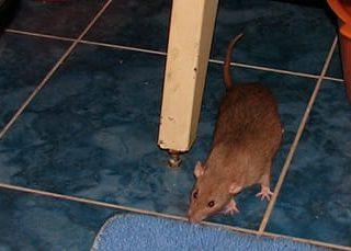 К чему снятся крысы в доме?