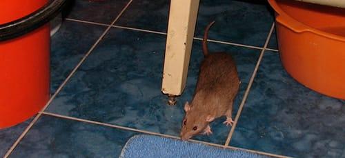 сонник крысы в доме