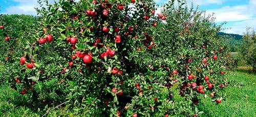 К чему снится яблоня с яблоками