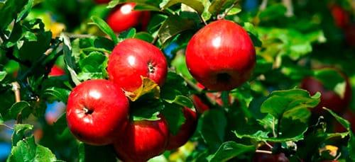 яблоня с яблоками во сне