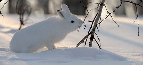 к чему снится заяц
