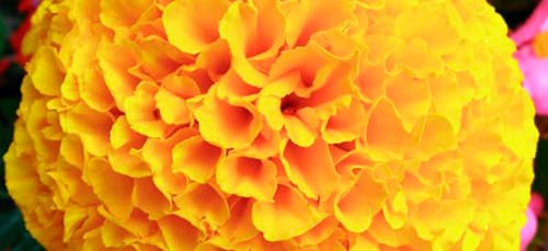 сонник желтый цвет
